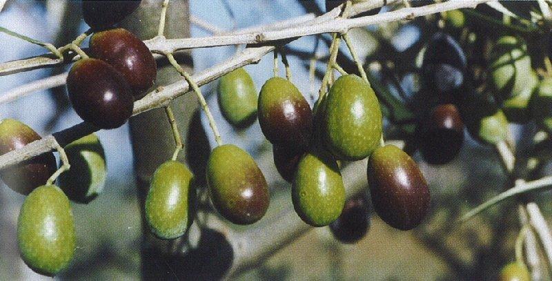 piante di olivo per olio